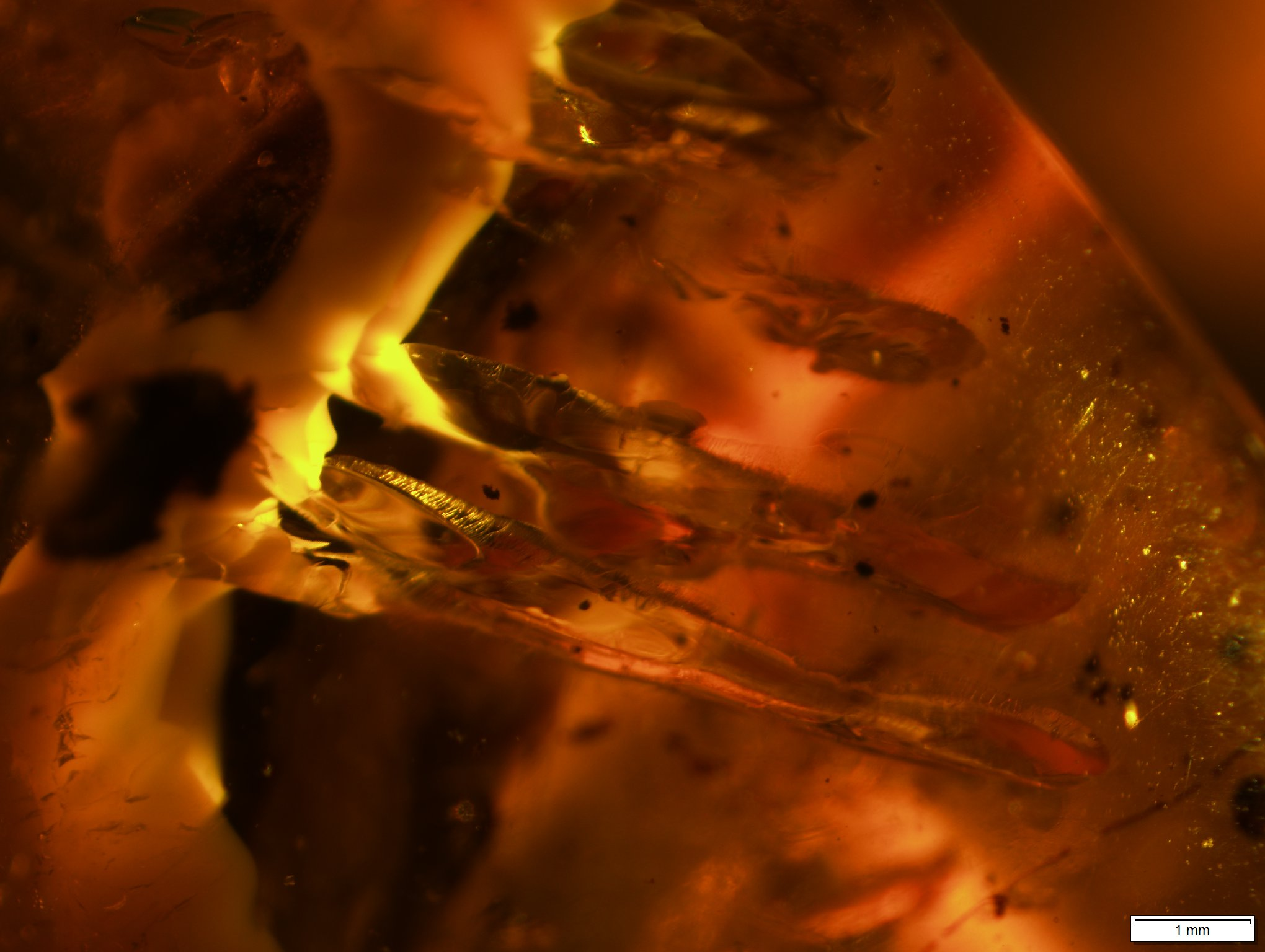 pterosaur teeth in amber