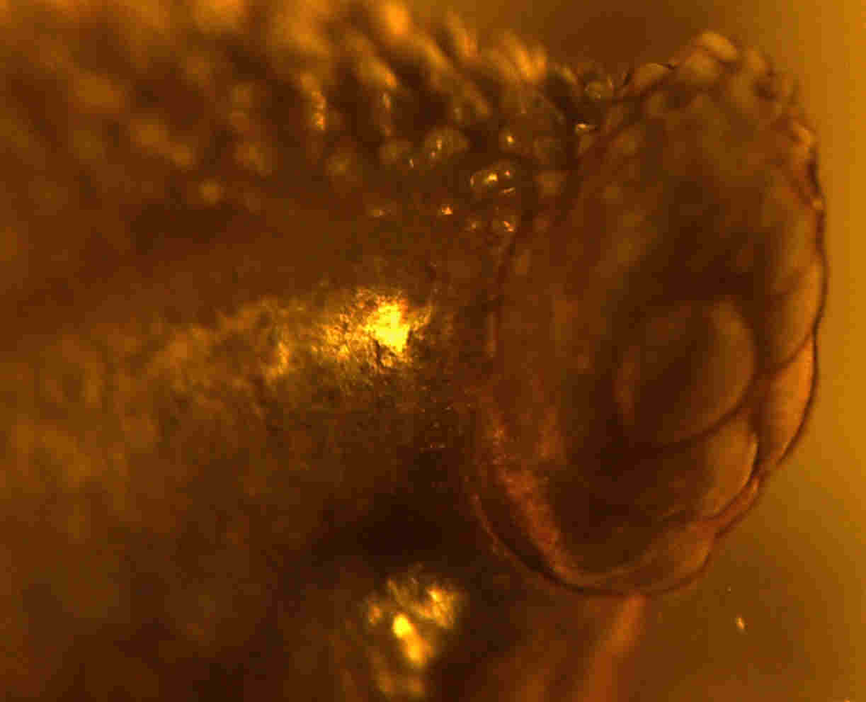 Leech in amber offers chance of discovering dinosaur DNA