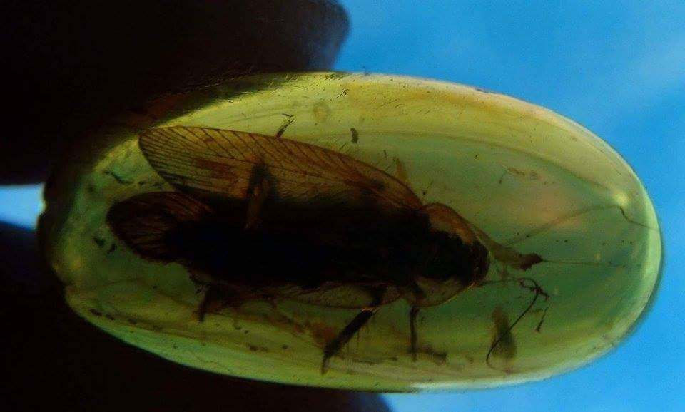 cockroach in amber