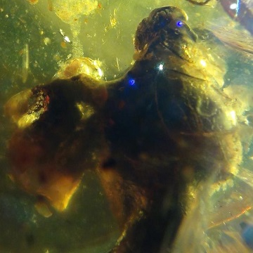 bird egg in amber, bird nest with birds have also been found in cretaceous amber